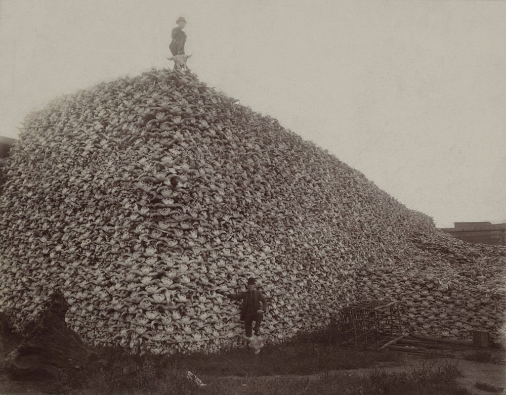 While bison supplied leather for America's booming clothing industry, the skulls of the animals also provided a key ingredient in fertilizer. This 1870s photograph illustrates the massive number of bison killed for these and other reasons (including sport) in the second half of the nineteenth century.  Photograph of a pile of American bison skulls waiting to be ground for fertilizer, 1870s. Wikimedia, http://commons.wikimedia.org/wiki/File:Bison_skull_pile_edit.jpg.