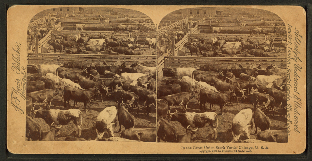Stereoscopic view of the Great Union Stockyards in turn-of-the-century Chicago. The stockyards were the epicenter of the American meat-packing industry for much of the late nineteenth and early twentieth century. The yards were made possible through the joint purchase of over three acres of unuseable swamp land by railroad companies, who then turned it into a hugely profitable centralized meatpacking district. In the Great Union Stock Yards [stockyards], Chicago, U.S.A., c. 1890. Wikimedia, http://commons.wikimedia.org/wiki/File:In_the_Great_Union_Stock_Yards_%28stockyards%29,_Chicago,_U.S.A,_from_Robert_N._Dennis_collection_of_stereoscopic_views_3.png.